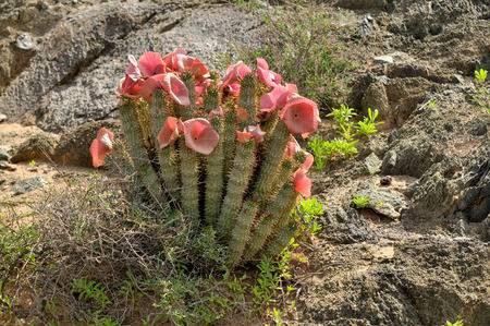 Hoodia gordonii, une plante médicinale, en fleur Ai-Ais - Richterveld parc transfrontalier Banque d'images - 26867097